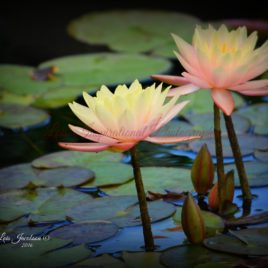Water Lily 0004