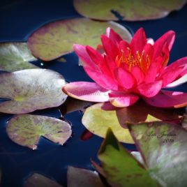 Waterlily 0001